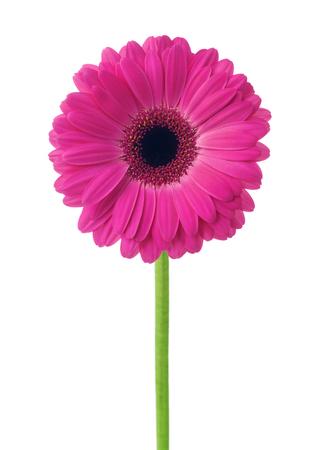 Gerbera rosa del fiore isolata su fondo bianco.