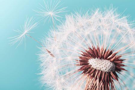Beautiful dandelion flower with flying feathers on turquoise background. Macro shot.