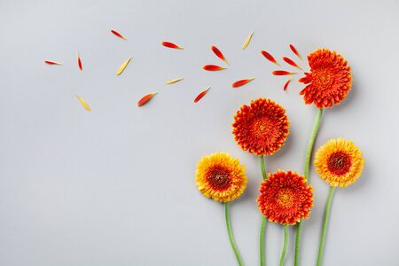 Creative nature composition of beautiful yellow and orange gerbera flowers with petals. Autumn windy concept. Flat lay style. Greeting card.