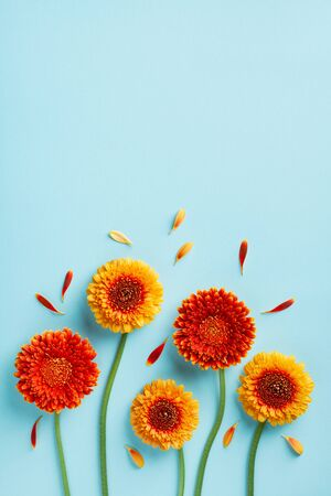 Creative nature composition of beautiful yellow and orange gerbera flowers with petals on blue background. Autumn concept. Greeting card in flat lay style.