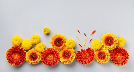 Creative composition of beautiful yellow and orange gerbera flowers with petals on gray background. Autumn border. Flat lay. Banner format.