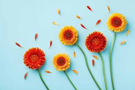 Creative nature composition of beautiful yellow and orange gerbera flowers with petals on blue background. Autumn concept. Flat lay style.