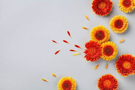 Creative composition of beautiful colorful gerbera flowers with petals on gray background. Autumn concept. Flat lay. Greeting card.