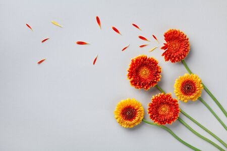 Creative composition of beautiful yellow and orange gerbera flowers with petals. Autumn windy concept. Flat lay. Greeting card.