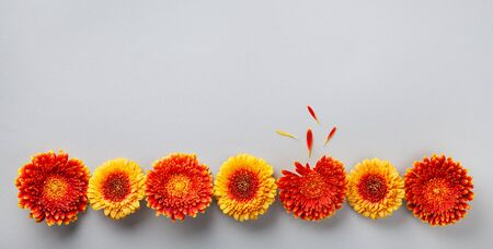 Creative composition of beautiful yellow and orange gerbera flowers with petals on gray background. Autumn concept. Flat lay. Banner format.