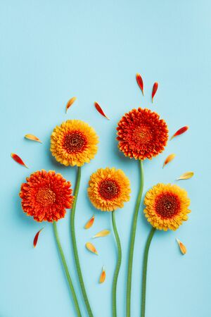 Creative composition of beautiful yellow and orange gerbera flowers with petals on blue background. Autumn concept. Greeting card in flat lay style.