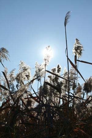Sedge in the sky and sun Stock Photo