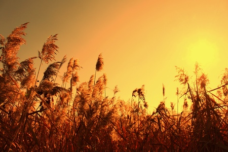 Sedge in the orange sky and sun