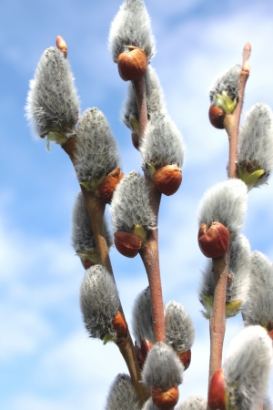sallow: Beautiful spring willow branches against the blue sky