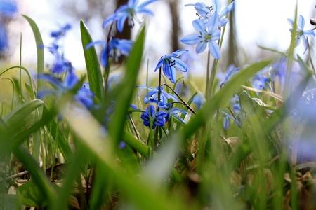 Beautiful blue spring flowers photo