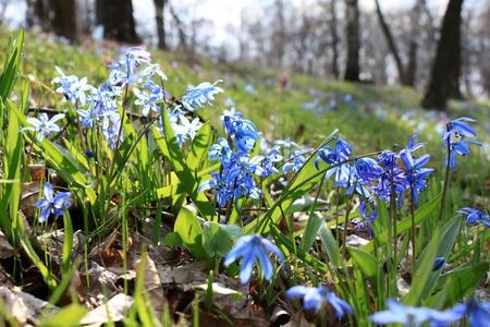 Beautiful blue spring flowers