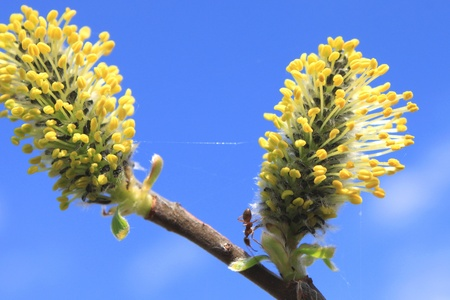 Beautiful spring willow branches photo