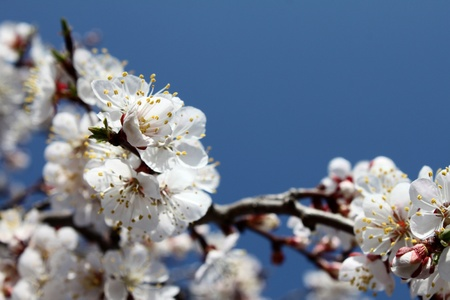 Beautiful white flowers against the blue sky in spring