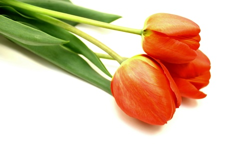 Beautiful spring tulips photo