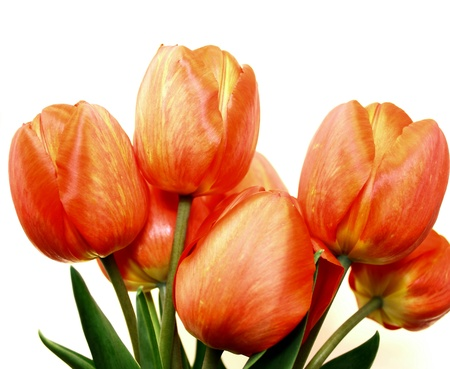 Beautiful spring tulips Stock Photo - 13358559