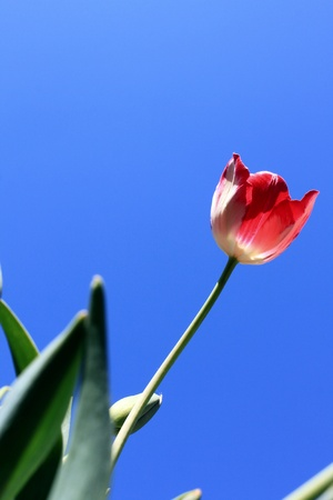 Beautiful red tulips against blue sky photo