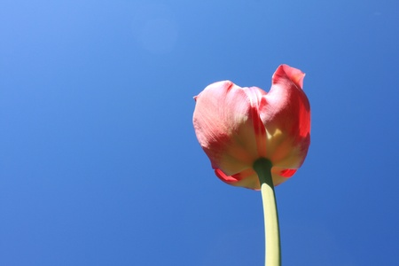 Beautiful red tulips against blue sky Stock Photo - 13466932