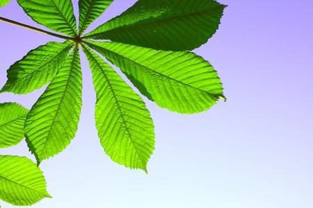 Bella verde foglia di castagno su sfondo blu Archivio Fotografico