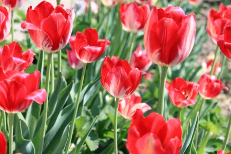 Several beautiful red tulips Stock Photo - 13466990