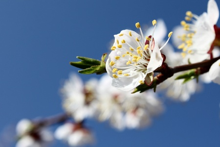 Beautiful white flowers in spring Stock Photo - 13466954