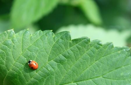 ladyfly: Ladybug on green leaf