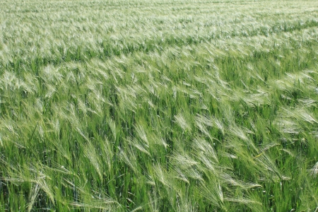 Wheat field Stock Photo - 14171015