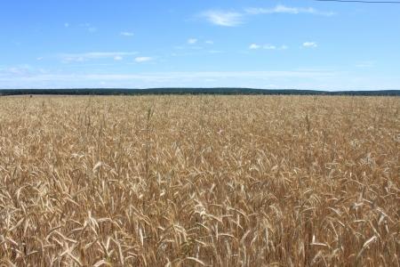 grain field Stock Photo - 14237709