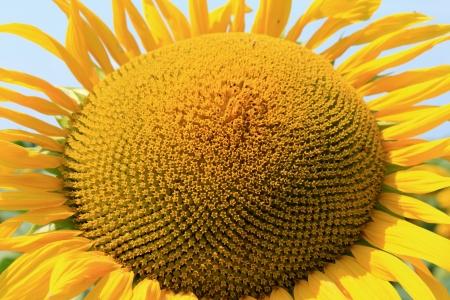 Beautiful sunflower closeup photo