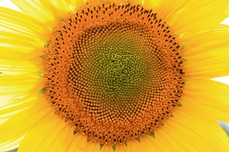 Beautiful sunflower closeup photo
