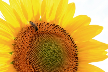Beautiful sunflower and a bee photo