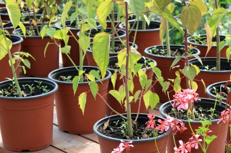 forcing bed: Growing flowers in pots Stock Photo