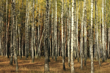 birch trees in autumn forest photo