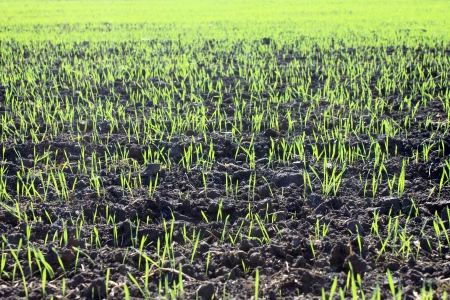 winter wheat: new shoots of a winter wheat