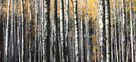 birch bark: Autumn trees with yellowing leaves Stock Photo