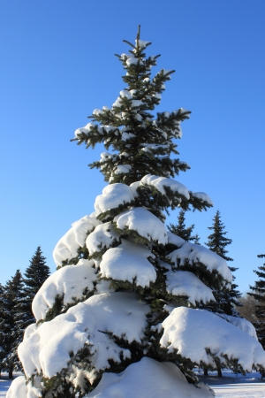 Pine-tree in snow , winter landscape photo