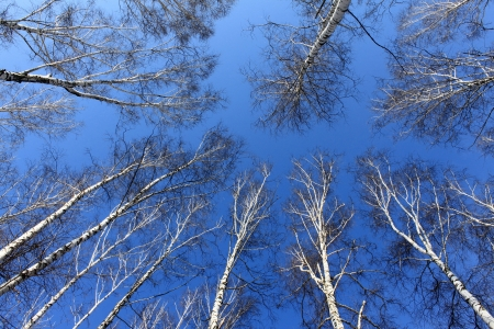 Birch wood in spring against the blue sky Stock Photo