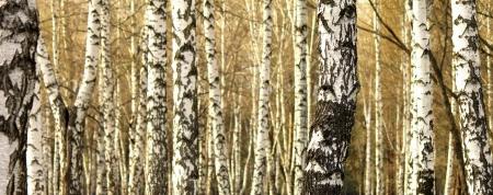 beechwood: Birch tree forest, natural background, birchwood, birches Stock Photo