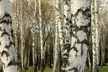 birchwood: Birch tree forest, natural background, birchwood, birches Stock Photo