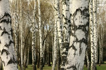 Birch tree forest, natural background, birchwood, birches Standard-Bild