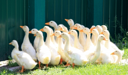 many young ducks on green grass in summer Stock Photo