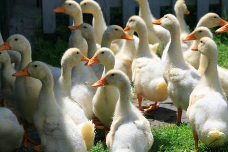 many young ducks on green grass in summer Standard-Bild