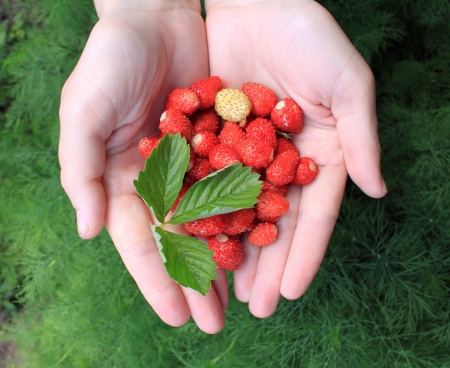hands holding fresh berries with green leaf photo