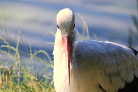 ciconiiformes: Adult stork in its natural habitat