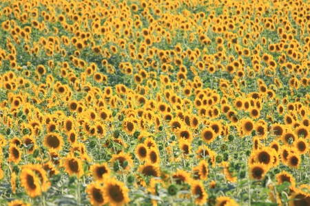 Summer sun over the sunflower field, natural background photo
