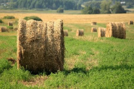 Hay bales on the field after harvest photo