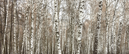 black and white forest: Close-up of a birch wood in summer