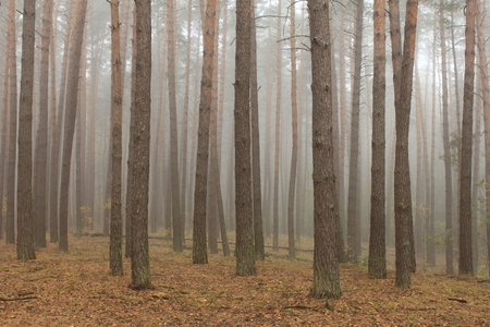 pine forest in morning fog in autumn