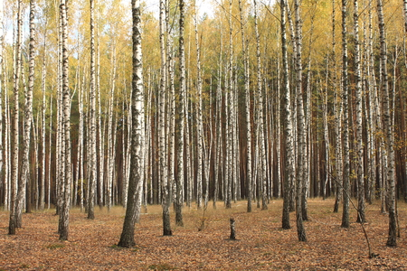 Autumn trees with yellowing leaves Stock Photo