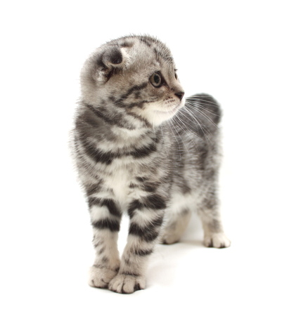 Small gray lop-eared kitten isolated on white background photo
