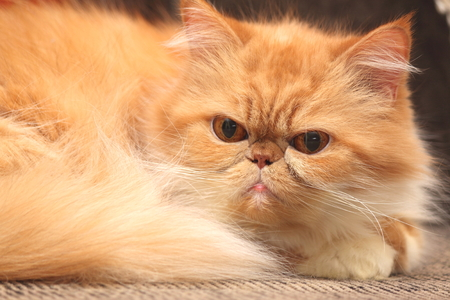 The portrait of red persian cat close-up photo